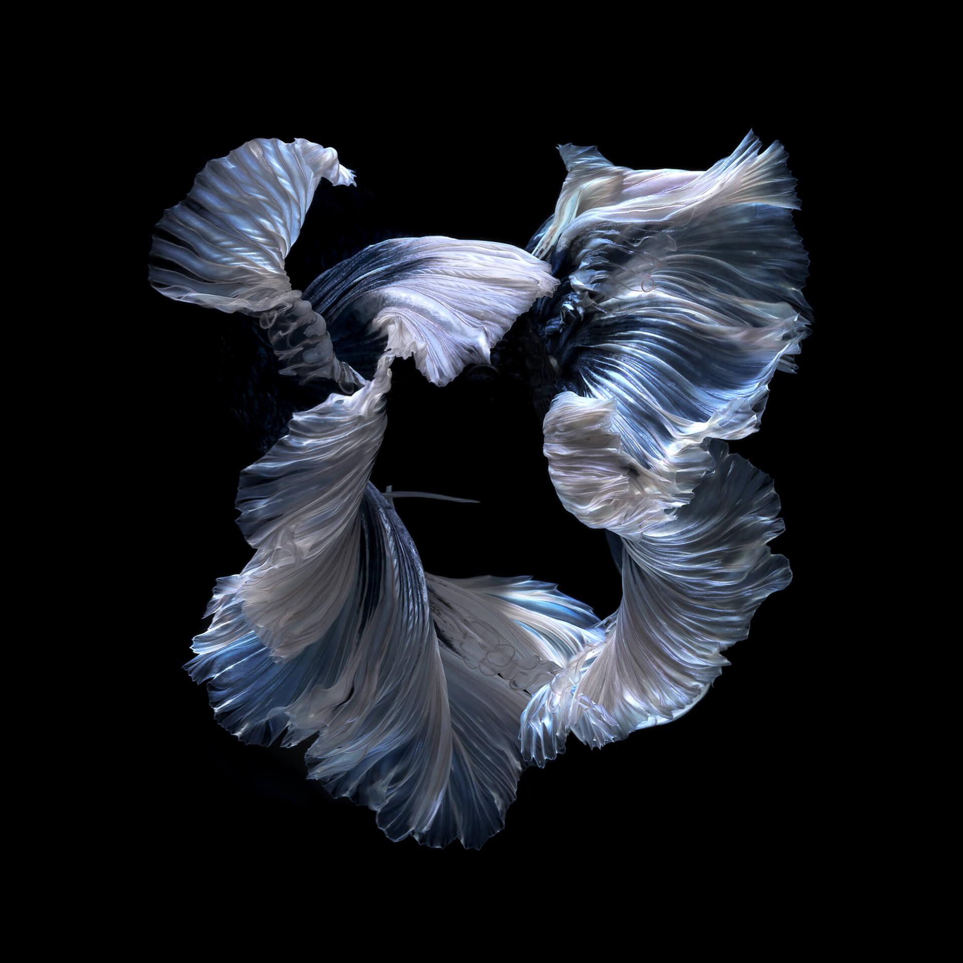 interview with visarute angkatavanich siamese fighting fish betta fish fight fantail betta crowntail betta fish